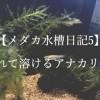 【メダカ水槽日記5】枯れてとけるアナカリスと、メダカの死