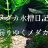 【メダカ水槽日記6】弱りゆくメダカたち。そしてわかった原因。